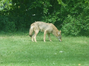Coywolf - if I see him going after the deer and her fawn, I may have to dash outside and do some serious hazing...